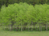 Aspen Trees Wear the Vivid Green of New Growth in Black Hills National Forest