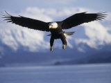 Bald Eagle Descends along the Shores of Southeast Alaska
