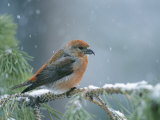 A Red Crossbill Weathers a Snowstorm in a Pinetree