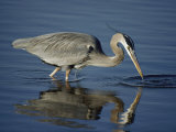 A Great Blue Heron Wades on Stilt-Like Legs While Foraging for Food