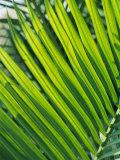 Close View of Palm Fronds Papier Photo par Steve Raymer