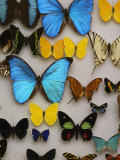 Display of Butterfly Samples at the National Biodiversity Institute