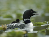 A Loon Chick Rides Piggy-Back on its Parent