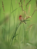 Finch Perched on Grass with Seed Heads