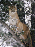 Beautiful Shot of a Mountain Lion in a Snowy Tree