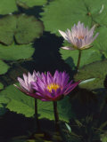 Fragrant Water Lily Flowers