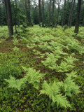 Woodland View in a Pine Forest with Ferns