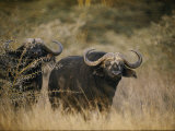 Two Cape Buffalo on the Veldt