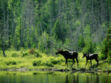 A Natural Salt Lick Lures Moose to the Shores of Hidden Lake