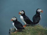 Trio of Atlantic Puffins Perch on a Grass-Covered Cliff