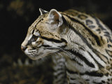 An Ocelot