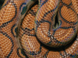 Detail of the Scales and Design of a Brazilian Rainbow Boa