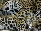 A Jaguar and Cub Relax