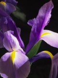 Close View of a Domesticated Iris