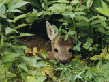 A Juvenile Roe Deer Looks out from a Nest of Green Plants