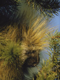 The Head of a Porcupine Seen Close Up