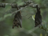 Fruit Bat Hangs Upside down from a Tree in Loango National Park