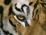 The Eye of a Tiger and Part of its Facial Markings