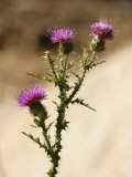 A Close View of a Thistle Wildflower
