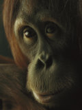 Female Orangutan