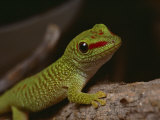 Madagascar Gecko  Bred in Captivity at Fort Worth Zoological Parks Reptile Facility
