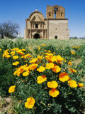 California Poppies Grow near Tumacacori Mission