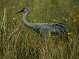 A Sandhill Crane Stands Amid Tall Grass and Wildflowers in Okefenokee Swamp