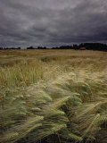 Grain Field in Northern Germany under Stormy Skies