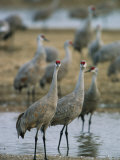 Sandhill Cranes Roost in the Platte River