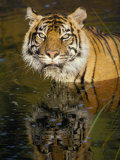 A Tiger Glares Directly into the Camera