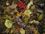 Pine Needles and Cones  and Autumn Leaves Along the Appalachian Trail