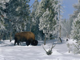 An American Bison Forages for Food Beneath a Thick Blanket of Snow