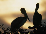 Pelicans Silhouetted at Sunset