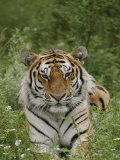 A Close View of a Siberian Tiger