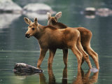 Moose Twins Stand in the Shallow Water of a Pond