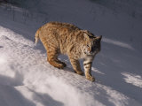 Bobcat Prowls over the Snow