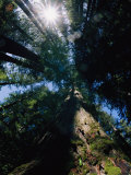 Tall Trees are Photographed at an Angle from Below