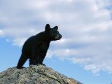A Young American Black Bear Surveys the Countryside from Atop a Boulder