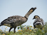 A Pair of Hawaiian or Nene Geese