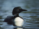 Portrait of a Common Loon in the Water