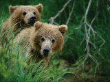Two Grizzly Bear Cubs Peer out from Behind a Clump of Grass