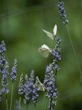 Butterflies on a Lavender Flower