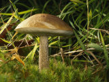 Close View of a Bolete Mushroom