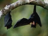 Flying Fox Bats Hang from a Limb in an American Samoa Rainforest