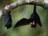 Flying Fox Bats Hang from a Limb in an American Samoa Rainforest Papier Photo par Randy Olson