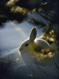 Backlit Portrait of a Little Snowshoe Hare in Winter Camouflage