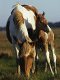 Wild Pony and Foal Grazing in a Field