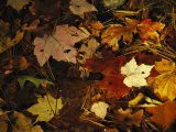 Array of Autumn Maple Leaves and Pine Needles Float in a Creek
