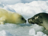 A Newborn Gray Seal Pup Bonds with its Mother