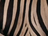 A Close View of a Zebras Stripes